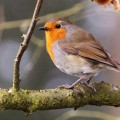 robin in tree, spring