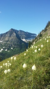 white mountain wildflowers