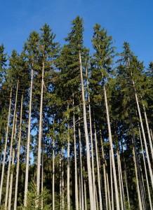 fir-forest-523372_1280