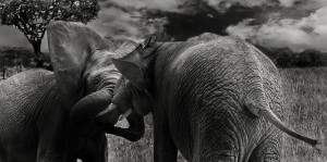 elephant-624127_640