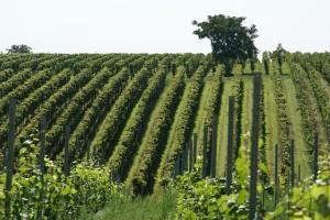 vineyard-836200_640