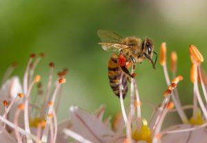 honeybee bees bee