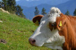 cow-232627_640