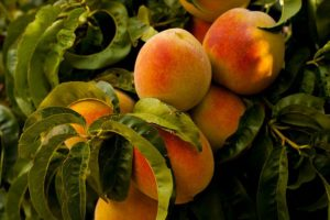 peaches-869386_640