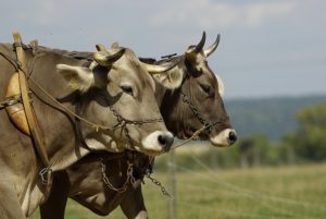 Oxen yoked together to plow a field.