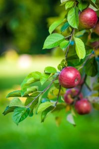 apple-484529_640