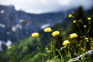 alpine-flowers-1464169_640
