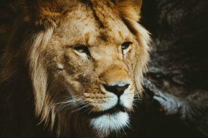 lion daniel