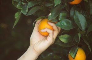orange picking fruit