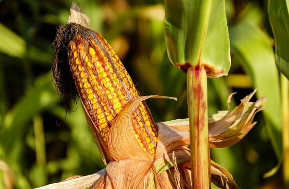 An Ear of Corn Taught Me About Spiritual Gifts