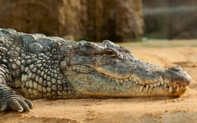 Crocodiles and Charismatic Friends