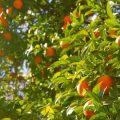 fruit oranges